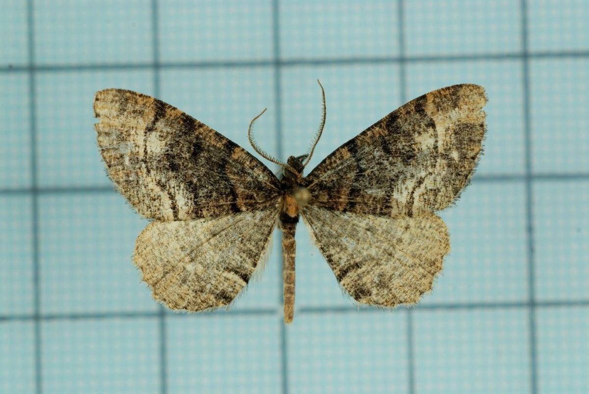 Px Alcis Nubeculosa on Taiwan View
