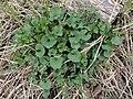 Alliaria petiolata SCA-110421-02.jpg