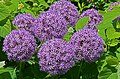 Allium 'Globemaster' Flowers.JPG