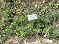 Allium bucharicum - Botanischer Garten München-Nymphenburg - DSC07612.JPG