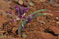 Allium falcifolium 4584.JPG