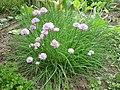 Allium schoenoprasum - pažitka (šnytlík).jpg