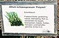 Allium schoenoprasum Polyvert.jpg