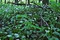 Allium ursinum flowers in Male Karpaty 01.jpg