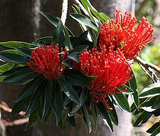 <i>Alloxylon</i> genus of plants