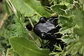 Alpine salamander - Salamandra atra (42551230430).jpg