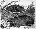 AmCyc Badger - Meles Labradorica.jpg