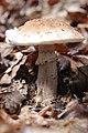 Amanita rubescens (35796970582).jpg