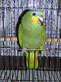 Amazona amazonica -pet at cage door-6a.jpg