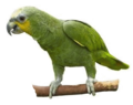 Amazona amazonica -transparent.png