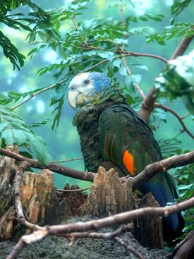 Amazona guildingii-4.jpg