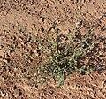 Ambrosia acanthicarpa 1.jpg