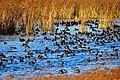 American Coot Flock Seedskadee NWR 01 (15499233148).jpg
