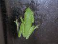 American green tree frog 11.JPG