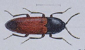 Description de l'image Ampedus balteatus Reitter.JPG.