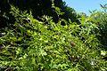 Ampelopsis aconitifolia kz1.jpg