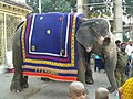 An Elephant at Govindaraja Swamy Temple in Tirupati.jpg