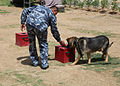 An Iraqi Police K9 dog searches for explosive materials assisted by his trainer in Basrah, Iraq, May 3, 2011 110503-A-YD132-109.jpg