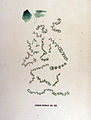 Anabaina circinalis — Flora Batava — Volume v17.jpg