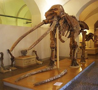 <i>Anancus</i> genus of mammals (fossil)