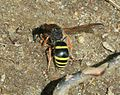 Ancistrocerus sp. collecting mud - Flickr - S. Rae (1).jpg