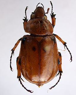 <i>Ancognatha</i> Genus of beetles