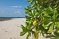 Andaman Islands, Neil, Mangrove tree leaves on the beach.jpg