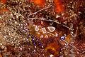 Anemone Shrimp (4579441138).jpg
