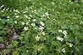 Anemone narcissiflora 10.jpg