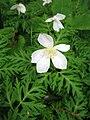 Anemone nikoensis 1.JPG