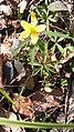 Anemone ranunculoides, Ranunculaceae 01.jpg