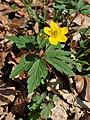 Anemone ranunculoides kz02.jpg