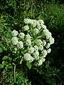 Angelica sylvestris subsp. sylvestris sl21.jpg