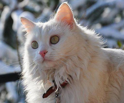 Angora Cat (White)