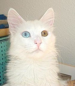An odd-eyed Turkish Angora