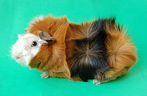 Abyssinian guinea pig - A male Abyssinian guinea pig