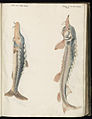 Animal drawings collected by Felix Platter, p1 - (82).jpg