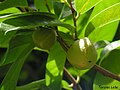 Annona montana, aticum - Flickr - Tarciso Leão (11).jpg