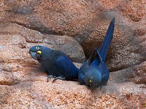 Lear's macaw - Image: Anodorhynchus leari Rio de Janeiro Zoo, Brazil 8a