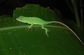 Description de l'image Anolis biporcatus, Costa Rica.JPG.