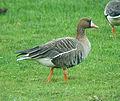 Anser albifrons albifrons Swallow Pond 2.jpg