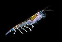 Antartide-Fauna-Antarctic krill (Euphausia superba)
