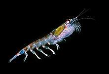 Antarctic krill (Euphausia superba).jpg