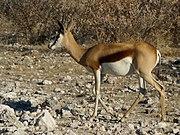 Antidorcas marsupialis 1.jpg