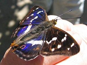 Apatura iris - Male