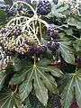 Apiales - Fatsia japonica 1.jpg