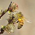 Apis mellifera - Salix rosmarinifolia - Keila.jpg