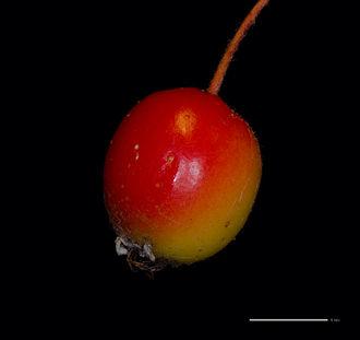 Malus florentina - Closeup of ripe red fruit of Malus florentina.
