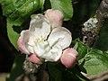 Apple Blossoms (68039057).jpeg