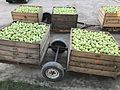 Apple harvest In The Summit, Queensland 02.jpg